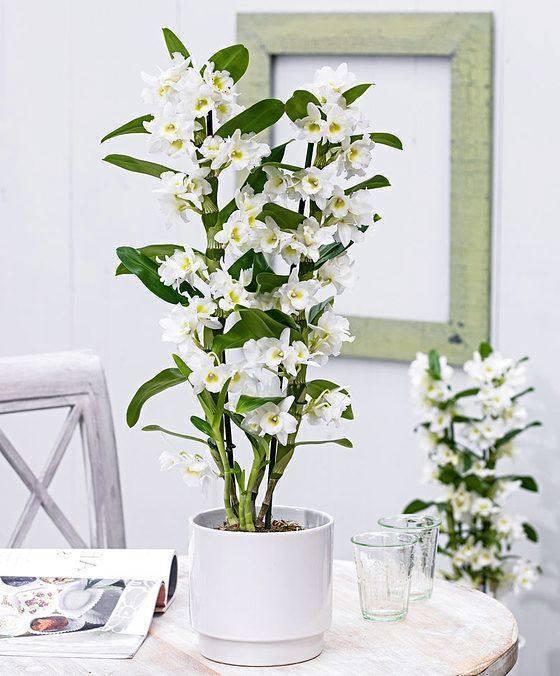 Орхидея дендробиум нобиле: уход в домашних условиях, размножение и пересадка
