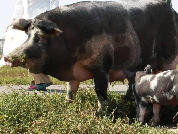 Миргородская порода свиней: описание и характеристики, правила содержания