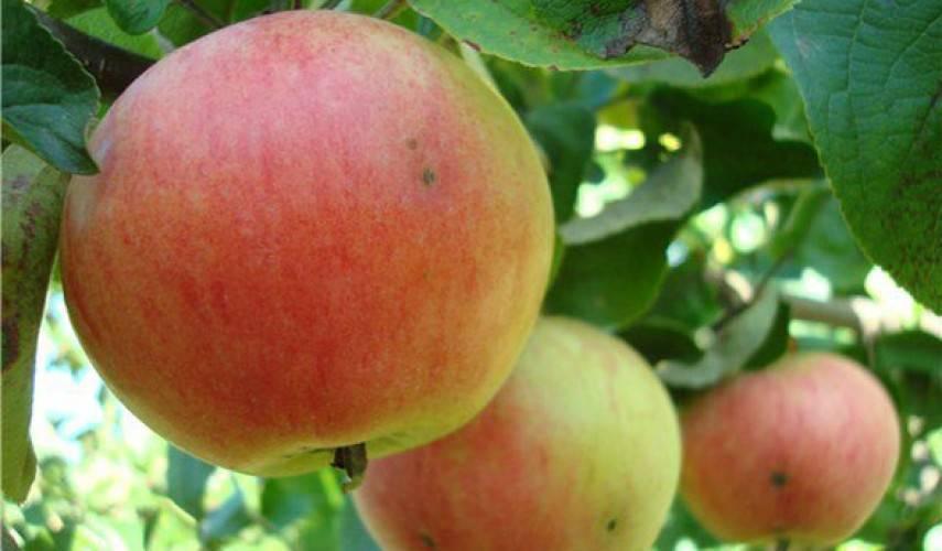 Лучшие сорта яблонь для башкирии