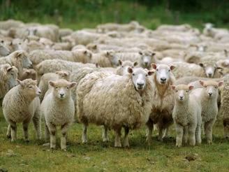 Мясные породы овец с фото и описанием в россии