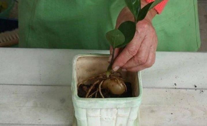 Как правильно посадить неприхотливое растение — замиокулькас («долларовое дерево»)?