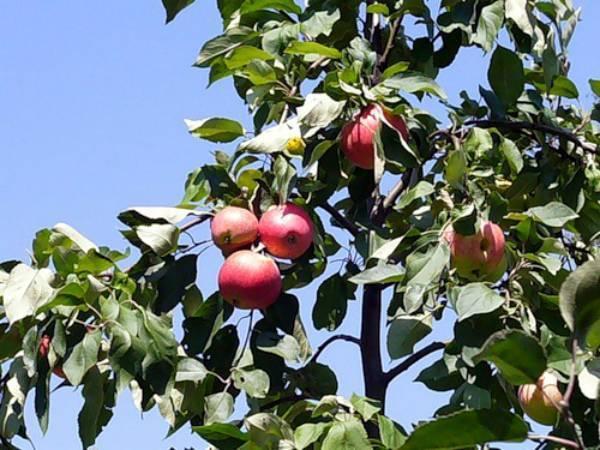 ✅ о яблоне мечта: описание и характеристики сорта, посадка и уход, выращивание - tehnomir32.ru