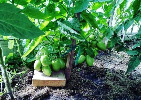 Вкусные, сладкие и сочные томаты «подсинское чудо» — подарок от минусинских селекционеров-любителей