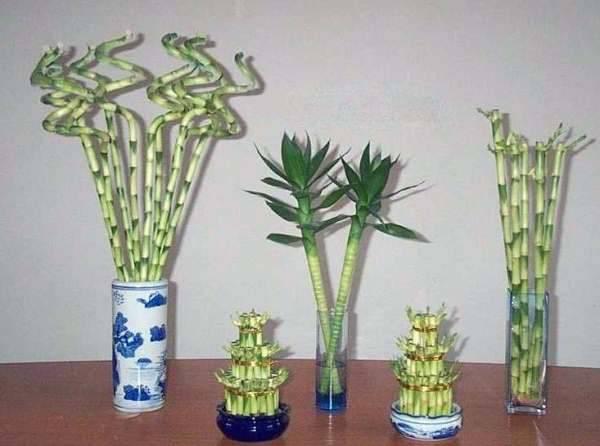 Драцена сандера - фото неприхотливого комнатного растения. особенности и тонкости ухода