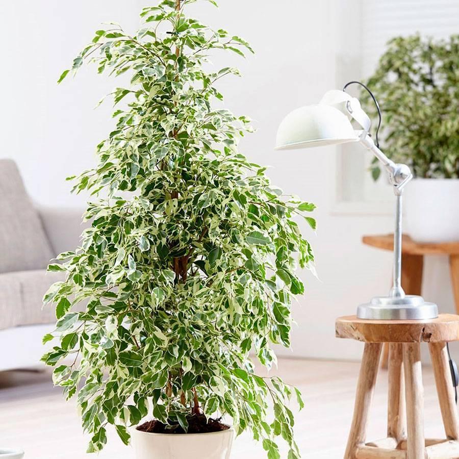 Фикус: разновидности, фото, болезни и уход в домашних условиях. почему не растет фикус, сбрасывает листья: что делать?