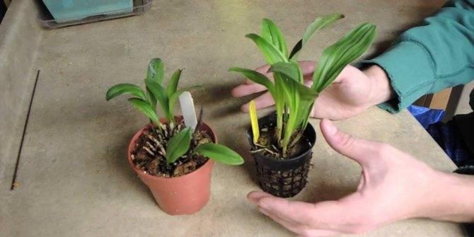 Орхидея масдеваллия: уход в домашних условиях, виды, пересадка