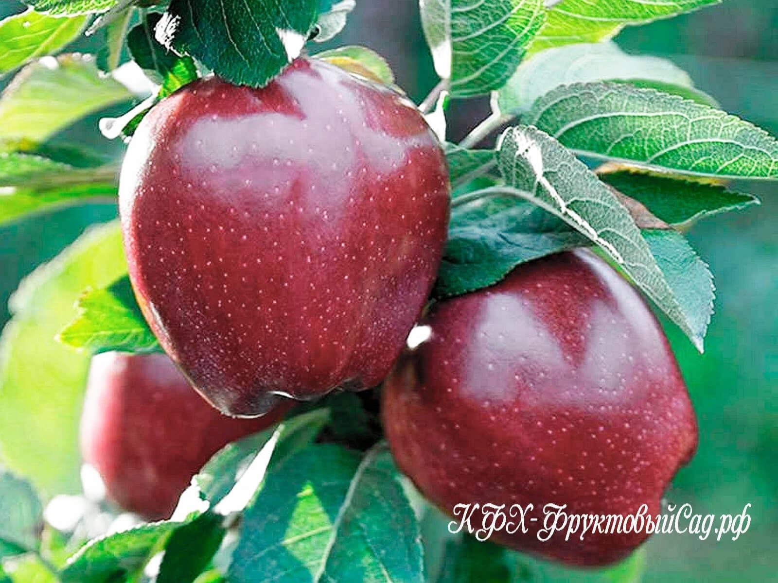 Яблоки ред делишес: описание, фото, отзывы