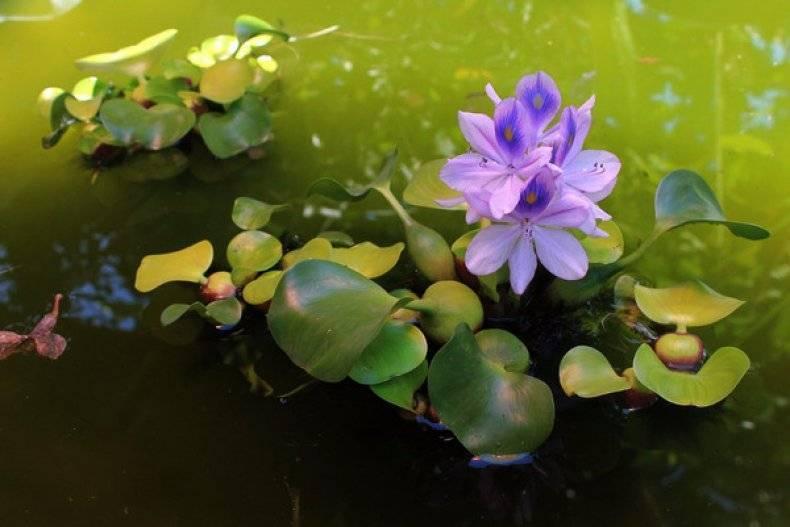 Водный гиацинт или эйхорния: посадка и уход, как сохранить зимой? фото selo.guru — интернет портал о сельском хозяйстве