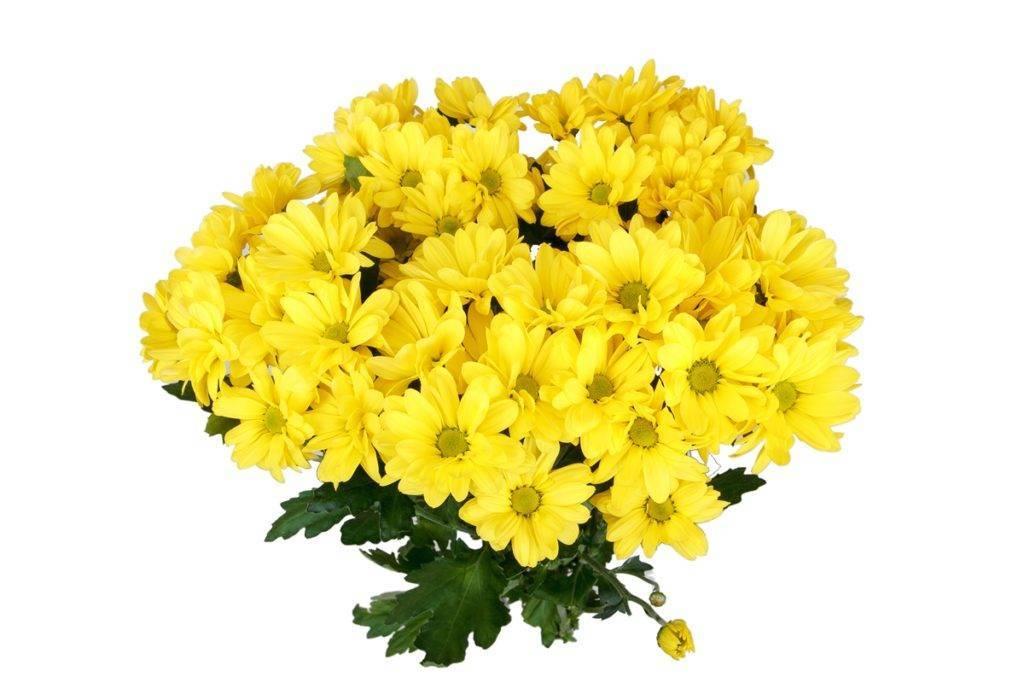 Хризантема «бакарди»: описание и выращивание