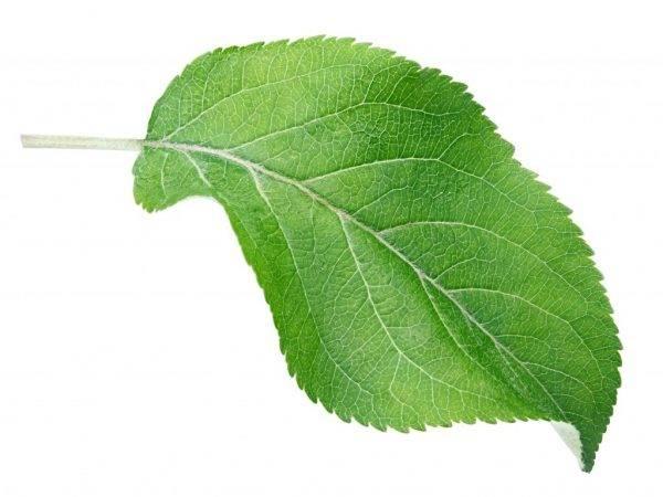 Вредители и болезни груши: борьба с ними с фото, как выглядят листья, способы лечения