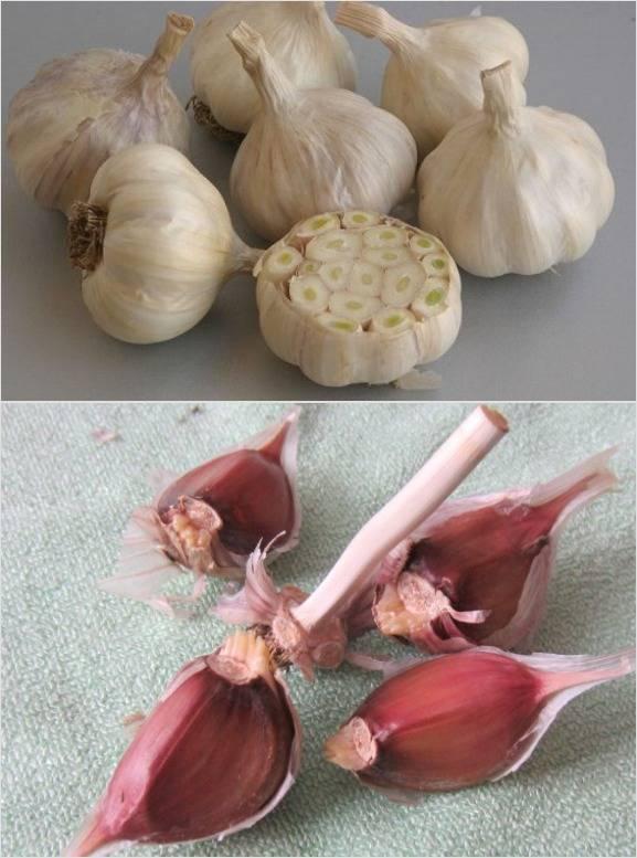 Выращивание чеснока посадкой бульбочками: когда сажать весной и осенью  