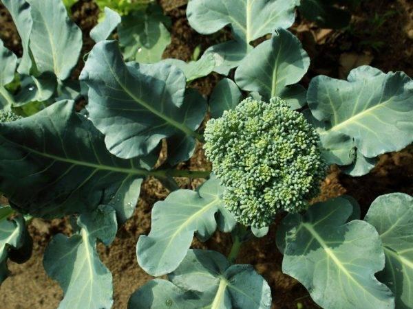 Перспективная новинка от голландской фирмы семинис — капуста брокколи айронмен f1: отзывы и описание
