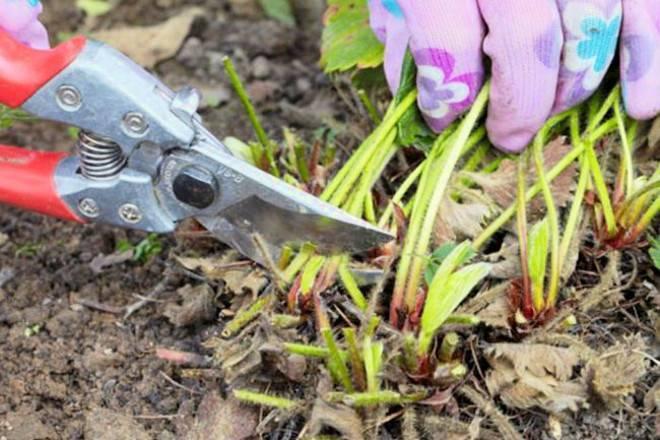 Когда обрезать клубнику на зиму: осенью или летом, как правильно это делать?
