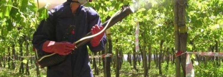 Железный купорос: применение в виноградарстве (подкормки, защита от болезней и вредителей, дезинфекция) + преимущества