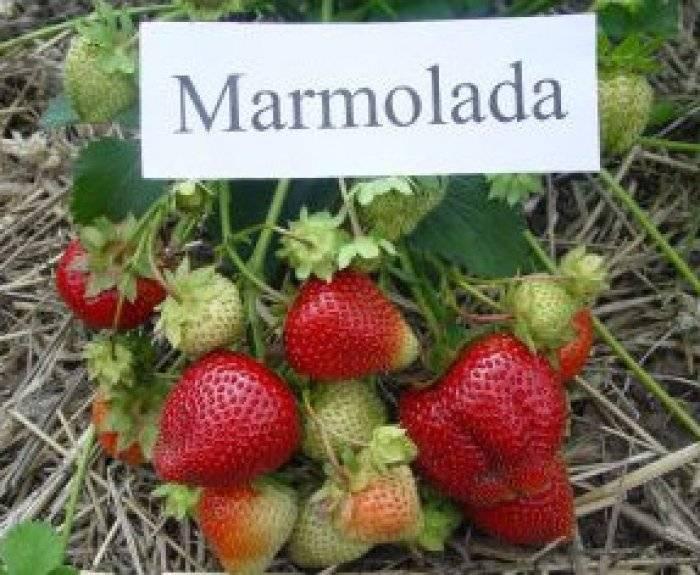 Клубника (садовая земляника) «мармелада» — описание сорта, посадка и уход, фото