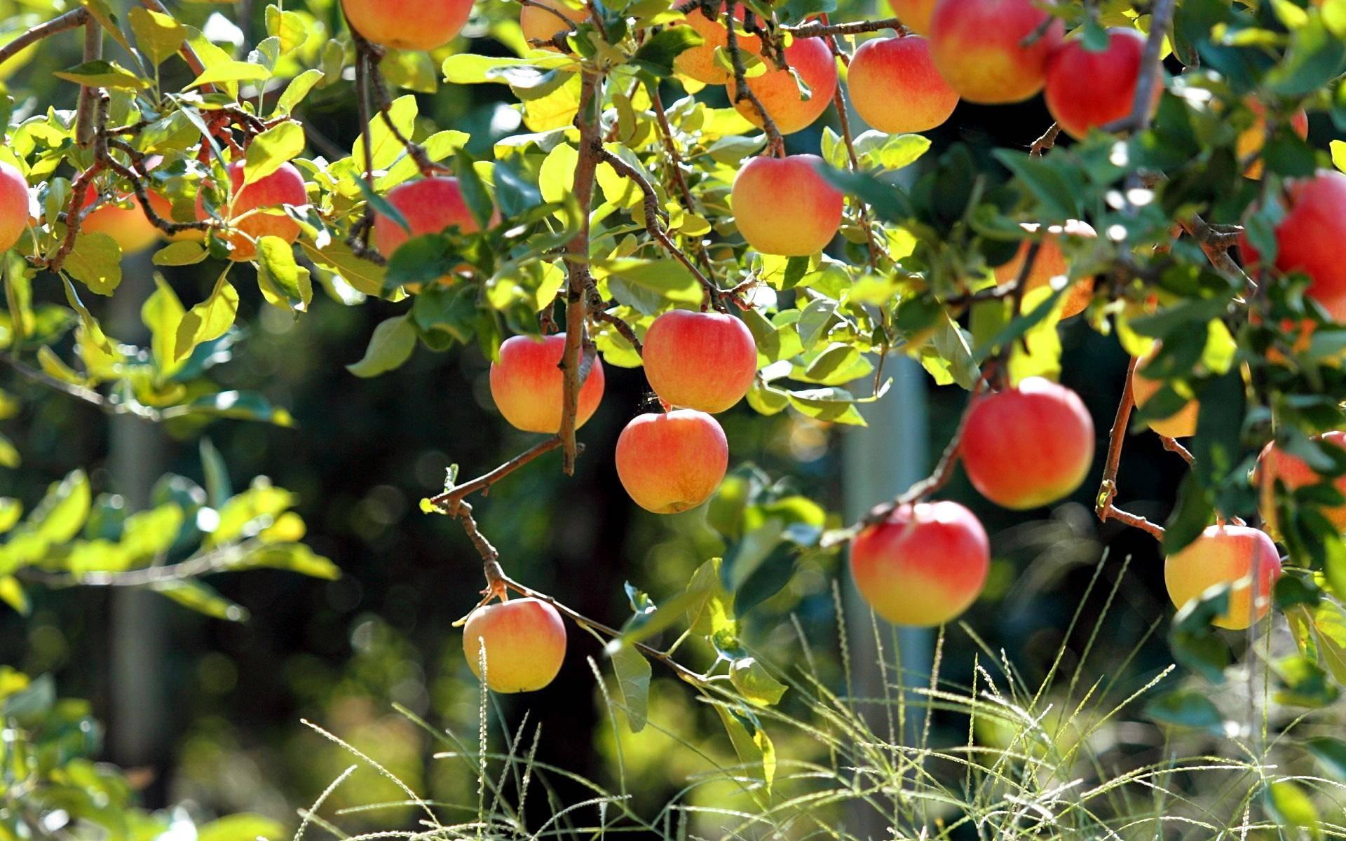 Продолжительность жизни яблони
