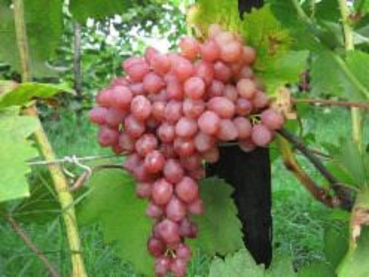 Описание винограда «кишмиш лучистый»: история селекции сорта, внешний вид, обрезка, обзор отзывов