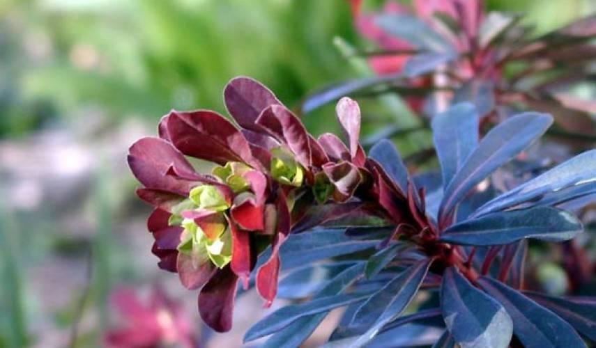 Как вырастить в саду молочай садовый многоцветковый (многолетний)? советы по посадке растения, фото