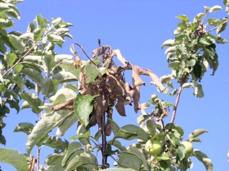 Лишайник на яблоне: что делать, чтобы избавиться от вредоносных наростов
