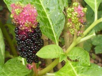 Растение лаконос (фитолакк) — способы выращивания и лечебные свойства