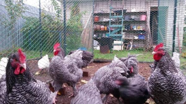 Сочное мясо, стабильная яйценоскость и неприхотливость в содержании — всё это порода кур малин