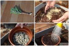 Размножение туи черенками: черенкование в домашних условиях. как размножить и вырастить тую из веточки? как укоренить ветку в банке с водой?