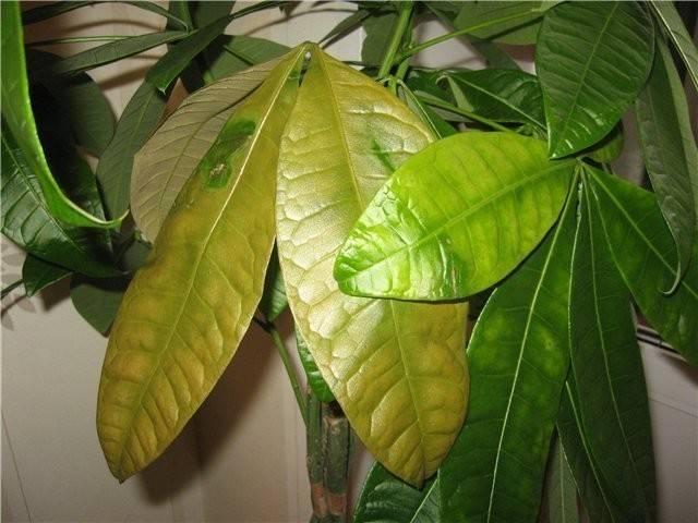 Почему желтеют листья у комнатных растений?