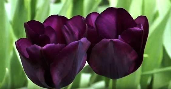 Лучшие сорта тюльпанов с фото и описанием - подробно о каждом из них