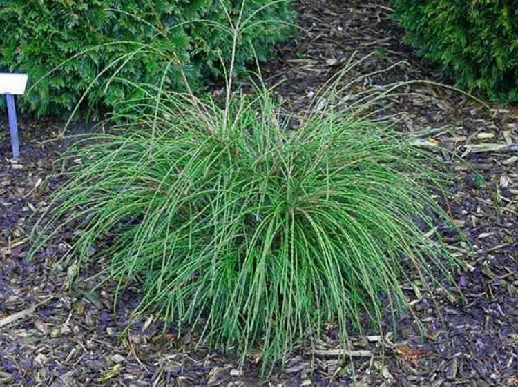 Туя випкорд: описание растения, посадка и уход за сортом