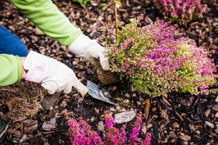Растение вереск обыкновенный: фото и описание сортов, видео посадки, уход и выращивание вереска