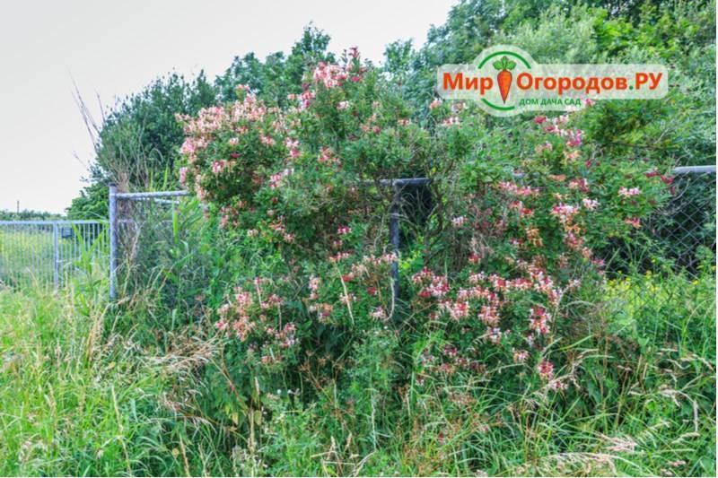 Жимолость каприфоль — фото, посадка и уход за вьющейся ароматной лианой