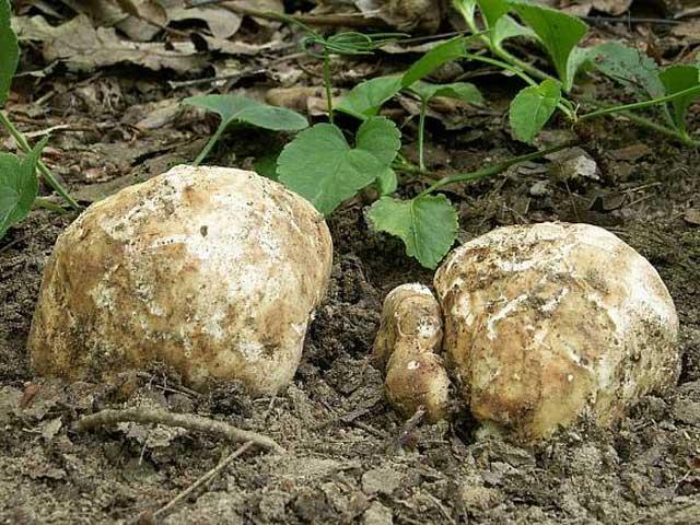 Грибы трюфели (40 фото): описание, вкус, где растут в россии, украине, где искать, как приготовить, похожие виды