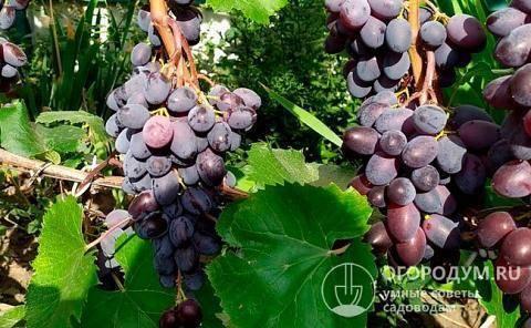 Виноград юпитер: селекция, описание сорта, посадка и уход, достоинства, отзывы