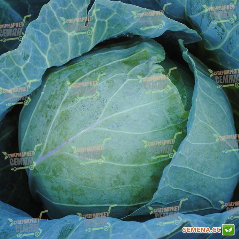 Характеристика капусты сорта пруктор ф1 - мыдачники