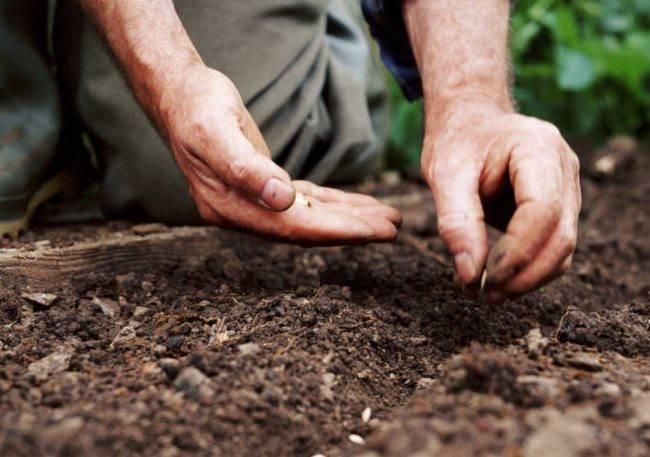 Как вырастить самые ранние луховицкие огурцы самостоятельно