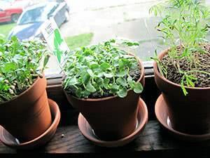 Выращивание укропа и петрушки на подоконнике – 3 пошаговые инструкции для новичков