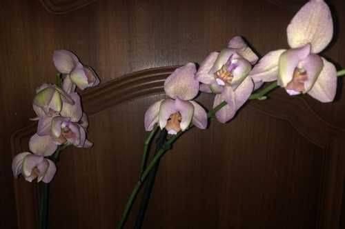 Орхидея легато: фото и описание сорта, особенности цветения, посадки, размножения и другие правила ухода в домашних условиях