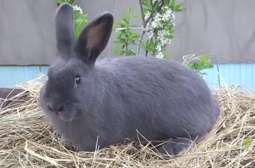 Кролик венский голубой: характеристики породы с фотографиями