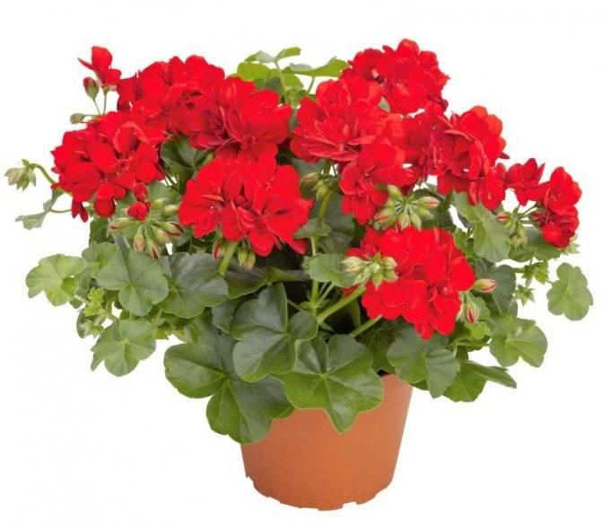 Герань – уход в домашних условиях и особенности роста. подкормки в период цветения – весной и летом