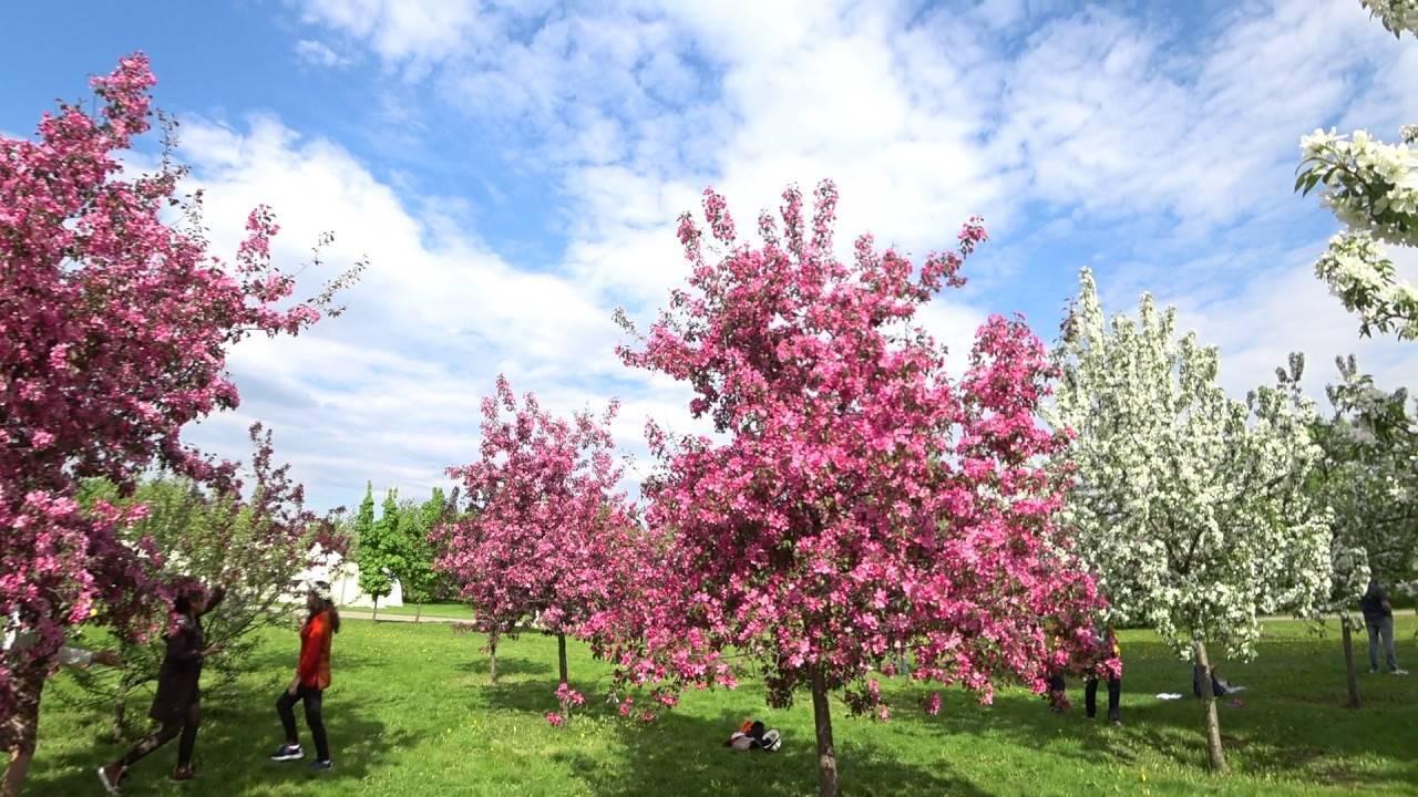Декоративная яблоня недзвецкого – прекрасное украшение для сада