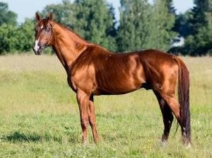 Буденновская порода лошадей: фото и видео, характеристика, описание, типы, разведение