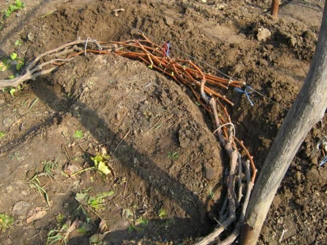 Как правильно и чем укрывать виноград на зиму в средней полосе