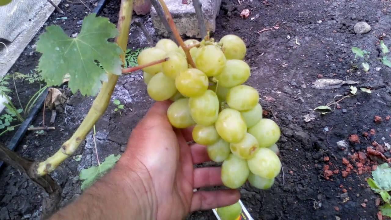 Виноград дарья (дашуня): описание сорта, фото, отзывы
