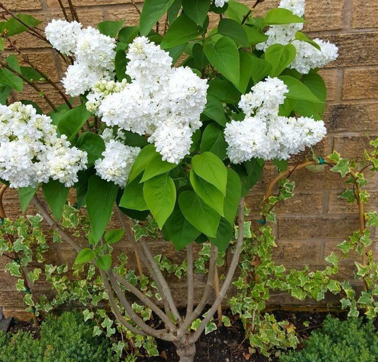 Сирень – посадка и уход в саду, обрезка и размножение