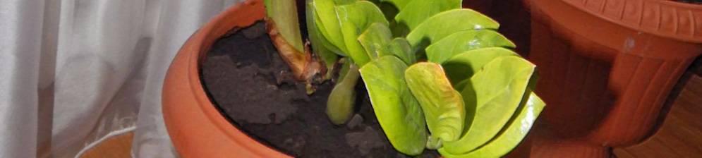 Почему не растет замиокулькас: что делать в домашних условиях