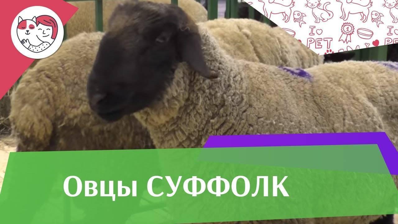 Овцы породы суффолк: описание и характеристика