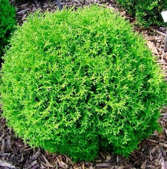 Туи тини тим - как вырастить маленькое чудо для большого сада