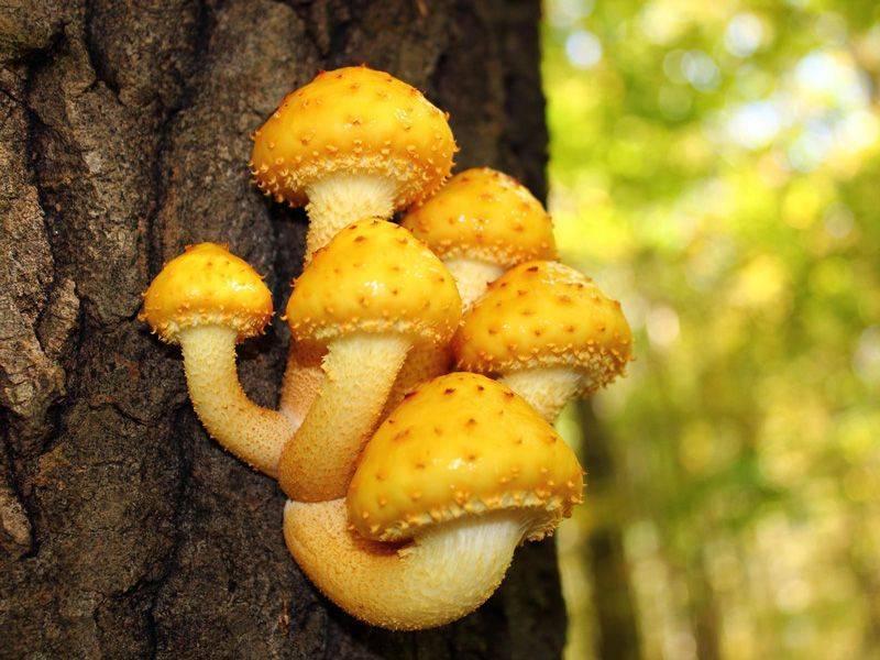 Чешуйчатка клейкая или глинисто-желтая (pholiota lenta): фото, описание и и рецепты приготовления гриба