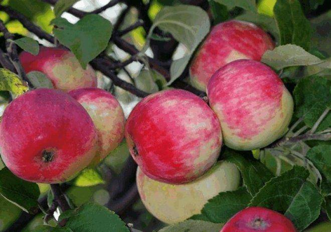 Сортовая характеристика яблони Солнцедар
