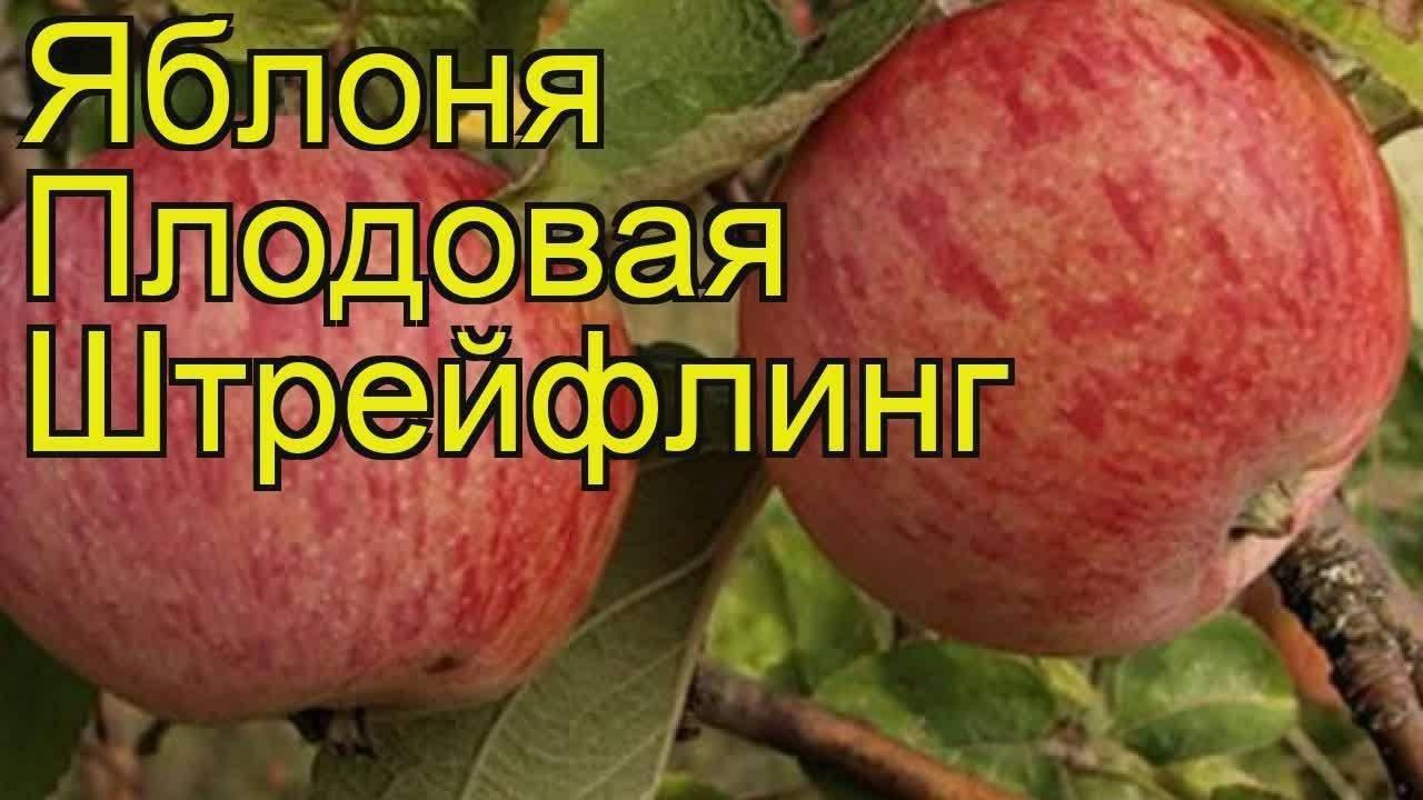 Яблоня штрифель: описание сорта, посадка, уход, фото, отзывы